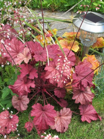 Red and yellow Heuchera with the added flower colour