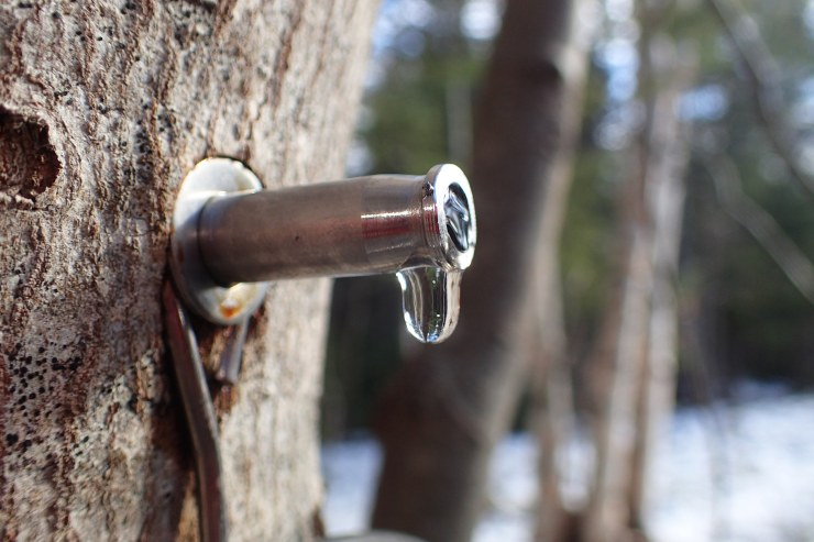 The first drip of spring - maple sap runs from a tap at Riven Joiner & the Homestead Store.