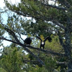 A pair of Bald Eagles settles into a perch along the Pleasant River at Columbia Falls Town Landing.