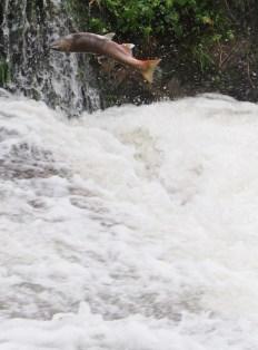 堰堤を越そうと何度も飛んでは滑り・・