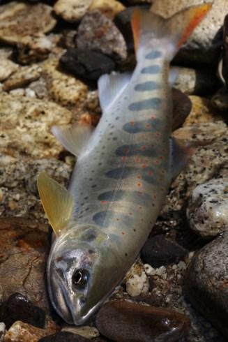 絹のような肌を持つ花崗岩河川のアマゴ