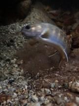 小渓で産卵床を掘るイワナの雌