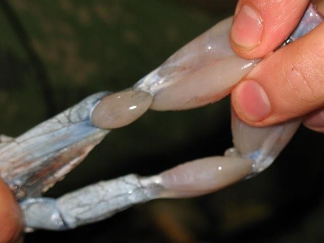 лягушачьи лапки