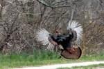 2011_1119_wild_turkey_1