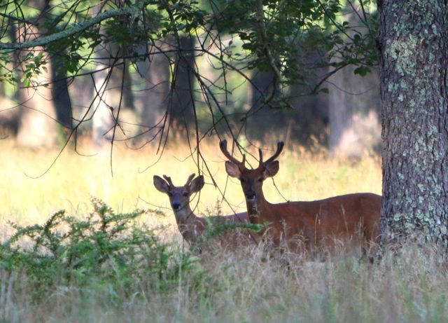 USDA deer cull in Southold Town is causing an uproar. (RiverheadLOCAL file photo by Peter Blasl)