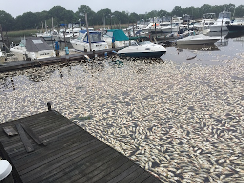 Thousands of dead fish float near the Moose Lodge on June 15, 2015 after yet another fish kill that weekend. Photo: Peter Blasl