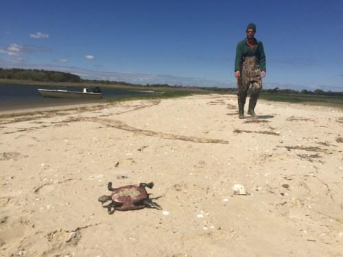Dozens of dead diamondback turtles washed ashore in Flanders Bay last May. File photo.