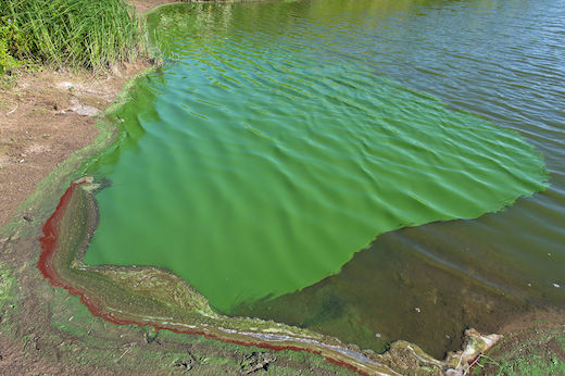 cyanobacteria blooms found in forge pond and peconic lake health
