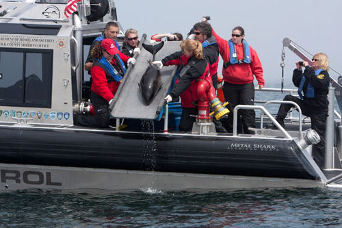 COURTESY PHOTO | Members of the Riverhead Foundation release Noodle into the ocean Saturday morning.