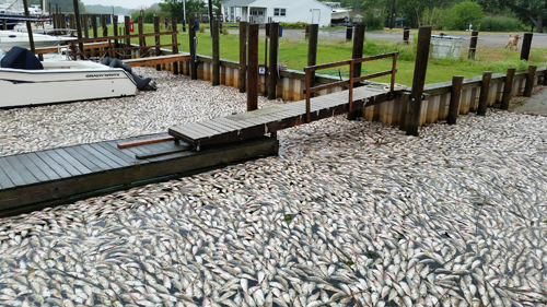 Dead fish washed ashore at the Riverhead Yacht Club. (Courtesy photo)