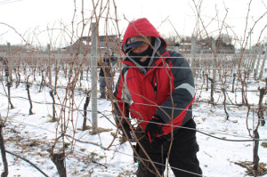 PAUL SQUIRE PHOTO | Herman Salazar trims grape vines at a vineyard in Jamesport Wednesday afternoon.