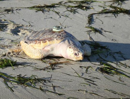 COURTESY | Anchor, a Loggerhead sea turtle makes his way home to bay waters.
