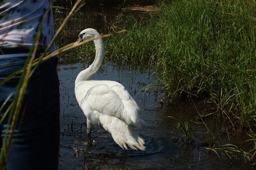 The DEC aims to kill or capture all mute swans by 2025. (Vera Chinese file photo)