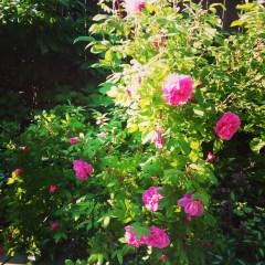 roses summer 2014