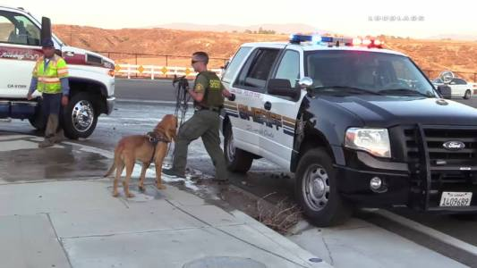 A sheriffs bloodhound was brought in to track what officials believed was a hit and run. William Hayes / Loudlabs News - LLN