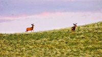Deer in WY