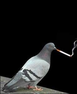 funny_pigeon_smoking-other