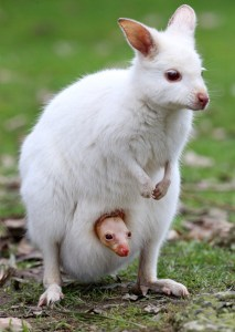 Albino Tammar Wallaby Joey At Gumbuya Park