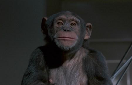 phenomena-chimp