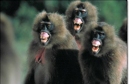 funny-laughing-baboons
