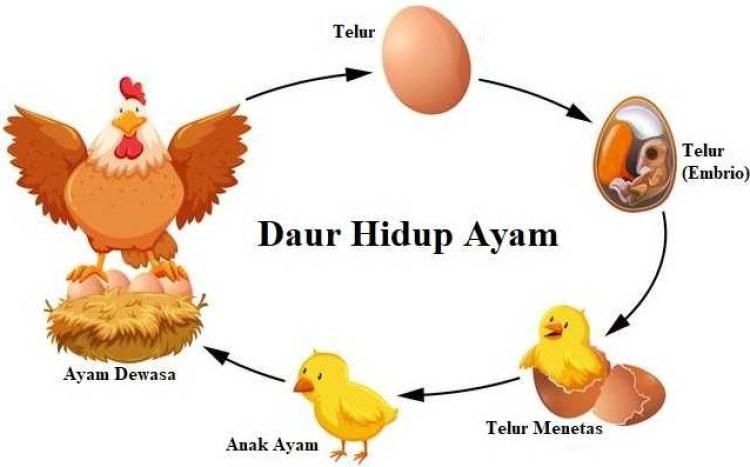 Ilustrasi grafis tentang siklus daur hidup pada ayam