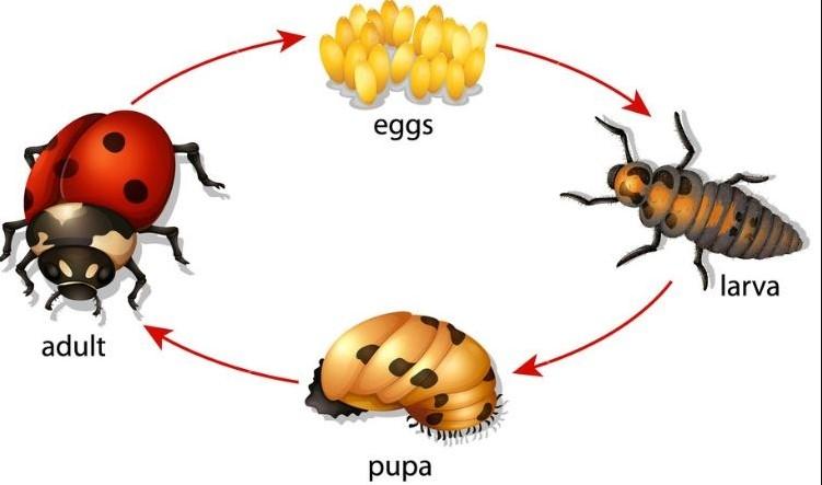 ilustrasi gambar daur hidup kumbang