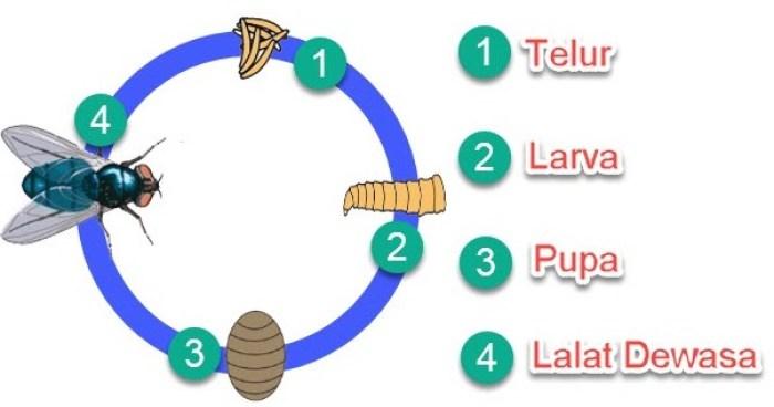 Gambar tahapan dari daur hidup lalat