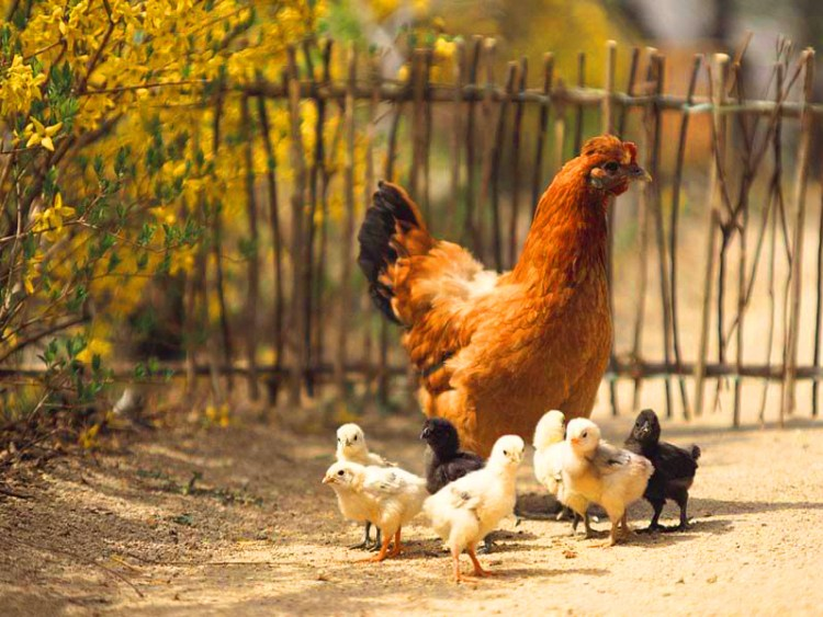 Sekilas pengenalan tentang ayam