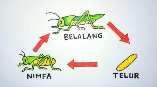 Ilustrasi skema daur hidup belalang