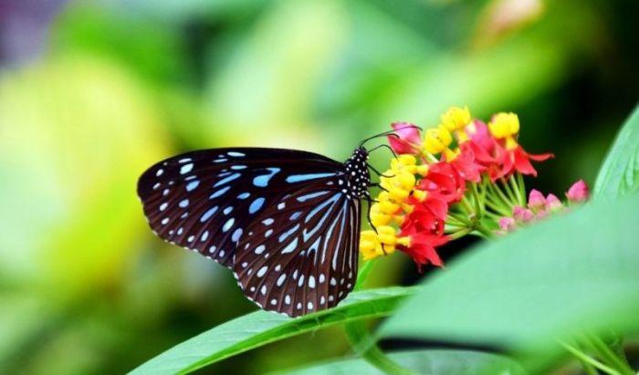 Contoh gambar daur hidup kupu-kupu