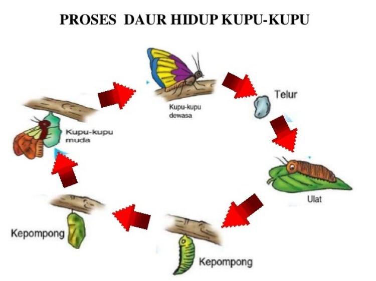 Ilustrasi fase metamorfosis sempurna kupu-kupu