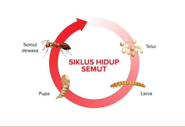 Ilustrasi contoh gambar daur hidup semut