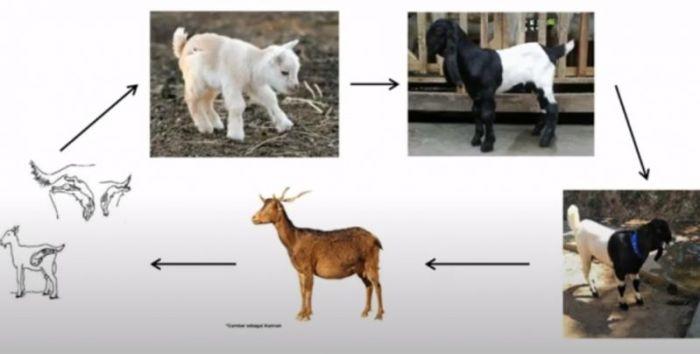 Ilustrasi gambar daur hidup kambing