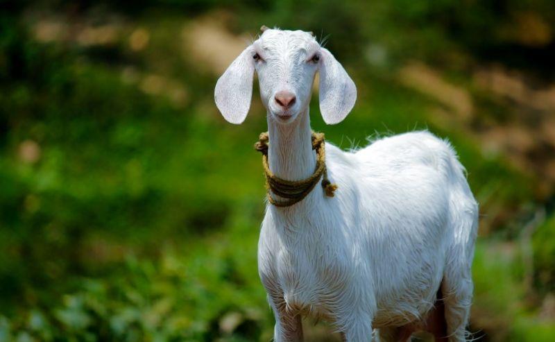 Penjelasan daur hidup kambing beserta gambar