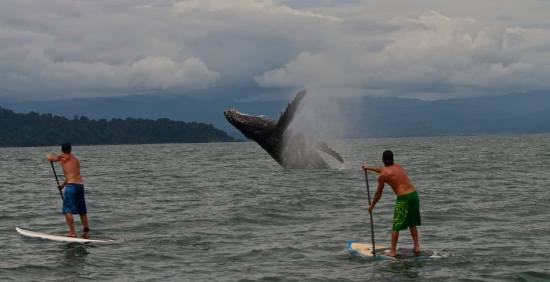 two men stand up paddleboarding in the ocean with whale breaching in background