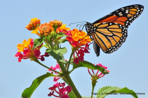 1-Monarch_Butterfly_Danaus_plexippus_Tiago_J_G_Fernandes_Wikimedia_Commons_BY_CC_FPWC