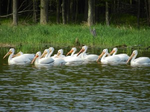 Pelicans along the shore of Wisconsin's Big Eau Pleine River and Flowage.