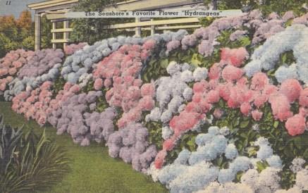 The seashore's favorite flower - hydrangeas