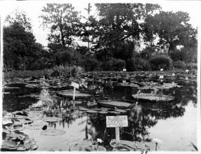 1909 Dreer's Nursery - lily pads