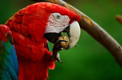 red-white-blue-and-green-parrot-bird-34513
