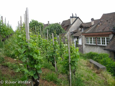 Vineyard outside the Munot