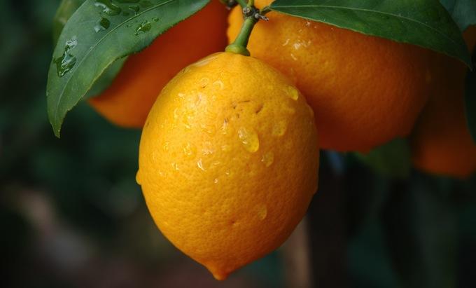 Lemons on a lemon tree
