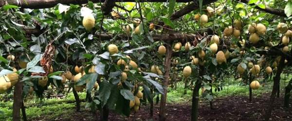 Mansi family lemon pergola
