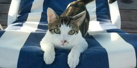 Titi the Blue Beach cat