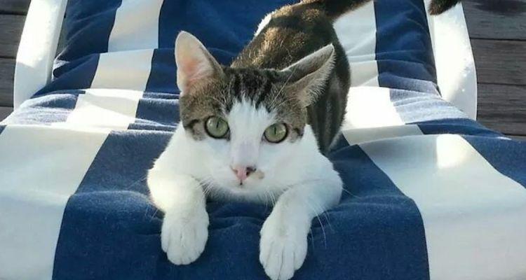 Titi the Blue Beach cat