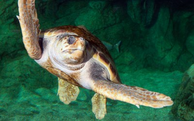 Tortue caouanne dans le bassin de réhabilitation - © M. Dagnino - Institut océanographique