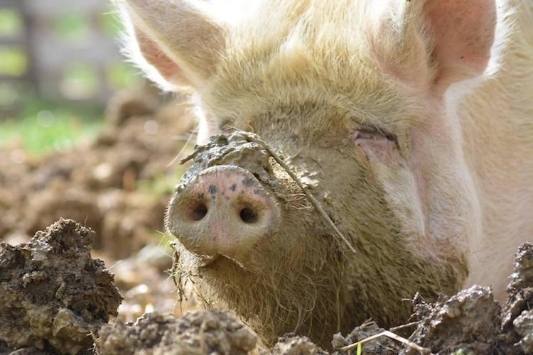 La Garie pig