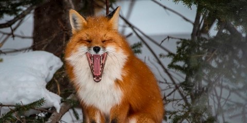 LAUGHING FOX © Brian McInnis