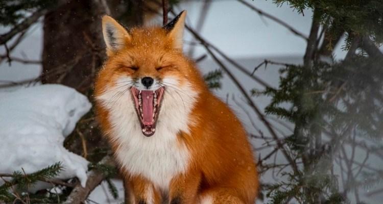 LAUGHING FOX © Brian McInnis