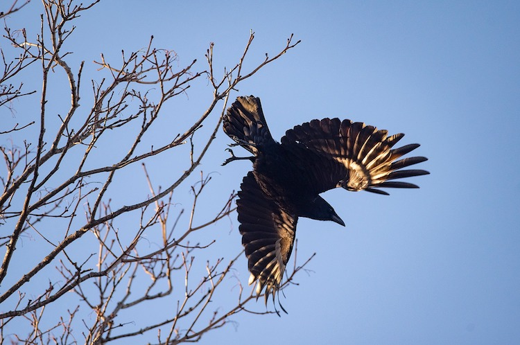 Crow in flight © Brian McInnis